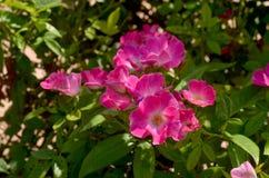 Ρόδινα τριαντάφυλλα, μικρά λουλούδια Στοκ Φωτογραφίες