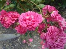 ρόδινα τριαντάφυλλα μικρά φύση θερινών εγκαταστάσεων στοκ εικόνα