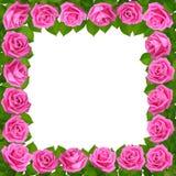 ρόδινα τριαντάφυλλα πλαι&si η ανασκόπηση απομόνωσε το λευκό στοκ φωτογραφία με δικαίωμα ελεύθερης χρήσης