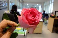 Ρόδινα τριαντάφυλλα, που αφιερώνονται στο φεστιβάλ της αγάπης, η ημέρα της αγάπης η καθεμία Στοκ Εικόνες