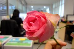 Ρόδινα τριαντάφυλλα, που αφιερώνονται στο φεστιβάλ της αγάπης, η ημέρα της αγάπης η καθεμία Στοκ φωτογραφία με δικαίωμα ελεύθερης χρήσης