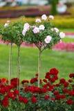Ρόδινα τριαντάφυλλα σε έναν κορμό και groundcover κόκκινα τριαντάφυλλα Στοκ Φωτογραφίες
