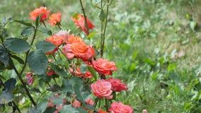 Ρόδινα τριαντάφυλλα σε τριανταφυλλιά απόθεμα βίντεο