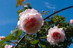 Ρόδινα τριαντάφυλλα στην πλήρη άνθιση και το σαφή μπλε ουρανό Στοκ Εικόνες