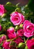 Ρόδινα τριαντάφυλλα στο καφετί υπόβαθρο Στοκ Φωτογραφία