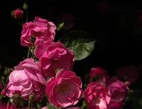 Ρόδινα τριαντάφυλλα στο μαύρο υπόβαθρο στη φύση στοκ φωτογραφία