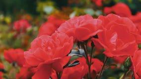 Ρόδινα τριαντάφυλλα στο πάρκο, κήπος λουλουδιών, τρυφερά τριαντάφυλλα που αυξάνεται στον κήπο φιλμ μικρού μήκους