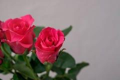 Ρόδινα τριαντάφυλλα στο υπόβαθρο θαμπάδων Στοκ Φωτογραφίες