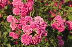 ρόδινα τριαντάφυλλα Στοκ φωτογραφίες με δικαίωμα ελεύθερης χρήσης