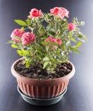 Ρόδινα τριαντάφυλλα flowerpot Στοκ Φωτογραφία