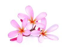 Ρόδινα τροπικά λουλούδια frangipani ή plumeria Στοκ Φωτογραφία