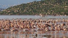 Ρόδινα φλαμίγκο που τρέπονται σε φυγή στο bogoria λιμνών, Κένυα απόθεμα βίντεο