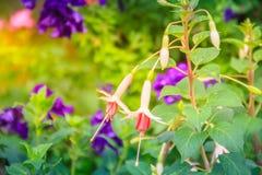 Ρόδινα φούξια λουλούδια magellanica στο πράσινο υπόβαθρο δέντρων Είναι Στοκ Φωτογραφίες