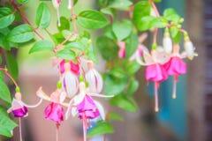 Ρόδινα φούξια λουλούδια magellanica στο πράσινο υπόβαθρο δέντρων Είναι Στοκ Φωτογραφία