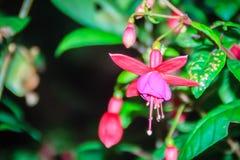 Ρόδινα φούξια λουλούδια magellanica στο πράσινο υπόβαθρο δέντρων Είναι Στοκ εικόνα με δικαίωμα ελεύθερης χρήσης