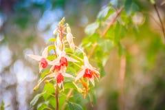 Ρόδινα φούξια λουλούδια magellanica στο πράσινο υπόβαθρο δέντρων Στοκ Εικόνα