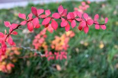 Ρόδινα φύλλα σε έναν κλάδο στοκ φωτογραφία με δικαίωμα ελεύθερης χρήσης