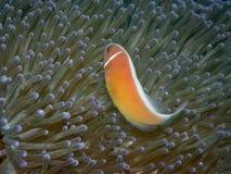Ρόδινα ψάρια Anemone Στοκ φωτογραφίες με δικαίωμα ελεύθερης χρήσης
