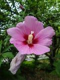 Ρόδινα hibiscus λουλούδια στον κήπο Στοκ φωτογραφία με δικαίωμα ελεύθερης χρήσης