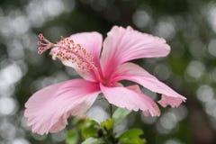 Ρόδινα hibiscus με 5 πέταλα στοκ φωτογραφία με δικαίωμα ελεύθερης χρήσης