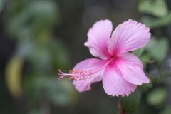 Ρόδινα hibiscus με το bokeh στοκ φωτογραφίες με δικαίωμα ελεύθερης χρήσης