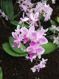 Ρόδινα orchids Στοκ εικόνες με δικαίωμα ελεύθερης χρήσης