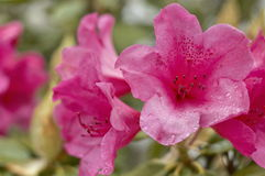 ρόδινα rhododendrons στοκ εικόνες