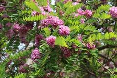 Ρόδινες ανθίσεις ακακιών στις αρχές του καλοκαιριού Τα λουλούδια της είναι πολύ ευώδη και όμορφα στοκ εικόνα με δικαίωμα ελεύθερης χρήσης