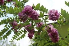 Ρόδινες ανθίσεις ακακιών στις αρχές του καλοκαιριού Τα λουλούδια της είναι πολύ ευώδη και όμορφα στοκ εικόνα