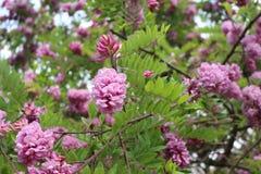Ρόδινες ανθίσεις ακακιών στις αρχές του καλοκαιριού Τα λουλούδια της είναι πολύ ευώδη και όμορφα στοκ εικόνες με δικαίωμα ελεύθερης χρήσης