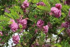 Ρόδινες ανθίσεις ακακιών στις αρχές του καλοκαιριού Τα λουλούδια της είναι πολύ ευώδη και όμορφα στοκ φωτογραφία