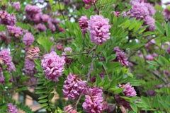 Ρόδινες ανθίσεις ακακιών στις αρχές του καλοκαιριού Τα λουλούδια της είναι πολύ ευώδη και όμορφα στοκ εικόνες
