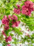 Ρόδινες δέσμες των λουλουδιών σε ένα δέντρο στοκ εικόνα