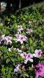 Ρόδινες εγκαταστάσεις λουλουδιών σε ένα πάρκο Στοκ Εικόνες