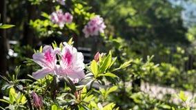 Ρόδινες εγκαταστάσεις λουλουδιών σε ένα πάρκο Στοκ Εικόνα