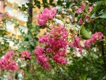 Ρόδινες εγκαταστάσεις Lagerstroemia λουλουδιών στοκ εικόνα με δικαίωμα ελεύθερης χρήσης