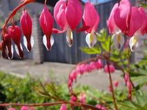 Ρόδινες καρδιές λουλουδιών Στοκ φωτογραφία με δικαίωμα ελεύθερης χρήσης