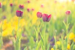 Ρόδινες τουλίπες, κινηματογράφηση σε πρώτο πλάνο λουλουδιών άνοιξη, θολωμένο υπόβαθρο και ζωηρόχρωμες λεπτομέρειες Στοκ φωτογραφίες με δικαίωμα ελεύθερης χρήσης