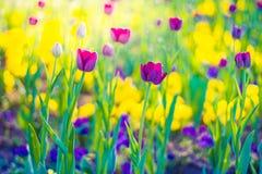 Ρόδινες τουλίπες, κινηματογράφηση σε πρώτο πλάνο λουλουδιών άνοιξη, θολωμένο υπόβαθρο και ζωηρόχρωμες λεπτομέρειες Στοκ Εικόνα