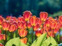 ρόδινες τουλίπες Κρεβάτι ή κήπος λουλουδιών με τις διαφορετικές ποικιλίες των τουλιπών Στοκ εικόνα με δικαίωμα ελεύθερης χρήσης