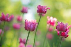 ρόδινες τουλίπες Κρεβάτι ή κήπος λουλουδιών με τις διαφορετικές ποικιλίες των τουλιπών Στοκ φωτογραφία με δικαίωμα ελεύθερης χρήσης