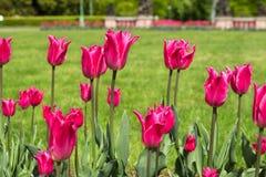 Ρόδινες τουλίπες στο πάρκο την άνοιξη Στοκ εικόνα με δικαίωμα ελεύθερης χρήσης