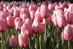 ρόδινες τουλίπες Στοκ φωτογραφίες με δικαίωμα ελεύθερης χρήσης
