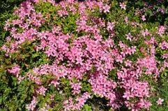 Ρόδινη άνθιση λουλουδιών άνοιξη Στοκ εικόνα με δικαίωμα ελεύθερης χρήσης