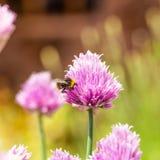 Ρόδινη άνθιση της Νίκαιας του χορταριού φρέσκων κρεμμυδιών με λίγο bumble-bee στοκ φωτογραφία