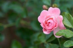 Ρόδινη άνθιση τριαντάφυλλων σε έναν τροπικό κήπο με το φυσικό πράσινο θολώνοντας υπόβαθρο Αντιπροσωπεύει ρωμανικό ανήλθε στην αγά Στοκ Εικόνα