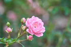 Ρόδινη άνθιση τριαντάφυλλων σε έναν τροπικό κήπο με το φυσικό πράσινο θολώνοντας υπόβαθρο Αντιπροσωπεύει ρωμανικό ανήλθε στην αγά Στοκ φωτογραφία με δικαίωμα ελεύθερης χρήσης