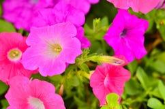 Ρόδινη άνθιση φυτών λουλουδιών πετουνιών Στοκ φωτογραφία με δικαίωμα ελεύθερης χρήσης