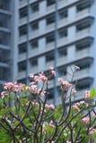 Ρόδινη άνθιση Plumeria στον κήπο στο υπόβαθρο θαμπάδων συγκυριαρχιών Στοκ Φωτογραφίες
