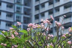 Ρόδινη άνθιση Plumeria στον κήπο στο υπόβαθρο θαμπάδων συγκυριαρχιών Στοκ Εικόνες